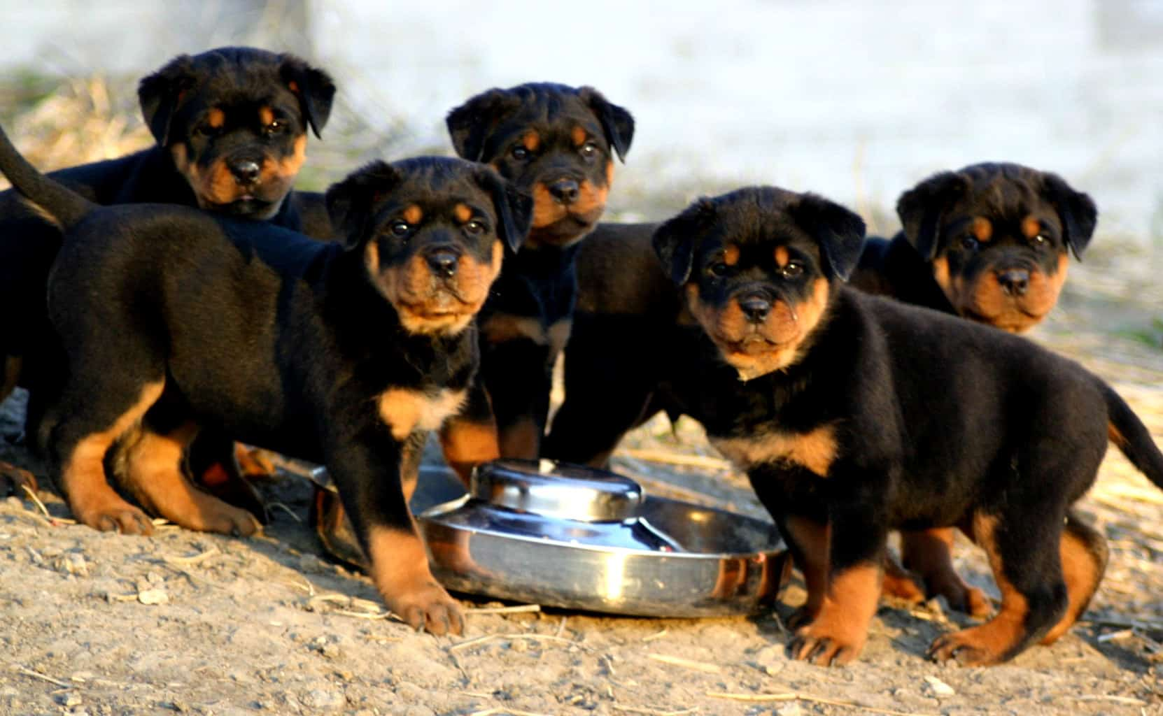 Rottweiler Dog Food Brands