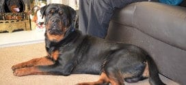 "Three Ways Rottweilers Say ""I love you"""