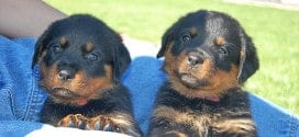 History Facts Your Rottweiler Wants You to Know