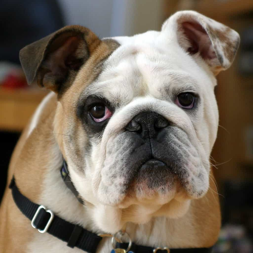Top 10 Dogs For Lazy Owners