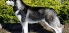 12 Most Effective Ways to Calm Your Siberian Husky
