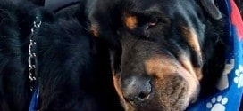 "Rottweiler Crying  for his dead twins ""Heartbreaking Video """