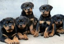 Rottweiler Temperament And Personality