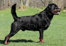 rottweilers tails