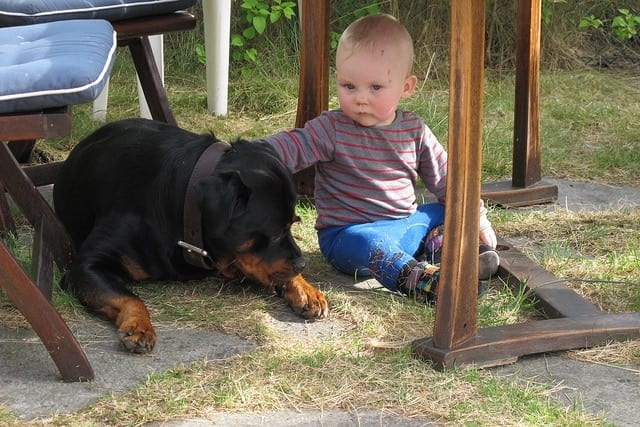 Children And Rottweilers