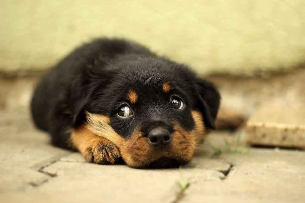 Rottweiler health problems