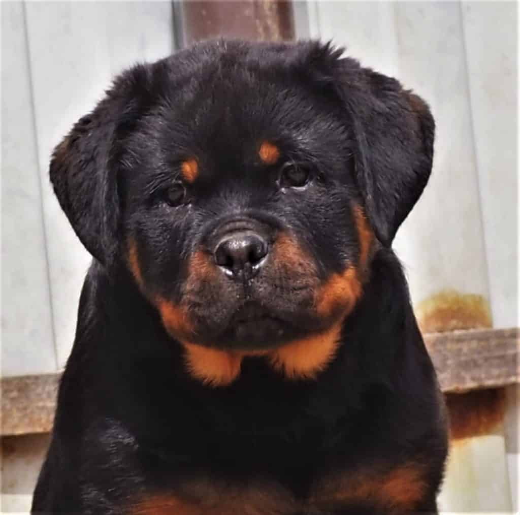 House Training a Rottweiler Puppy
