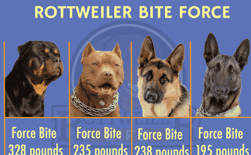 rottweiler bite force