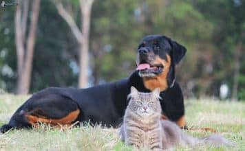 Are rottweilers good with cats