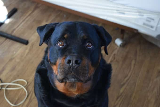 Rottweiler Personality