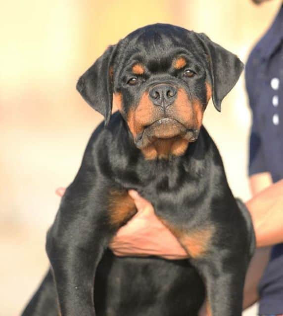 American Rottweiler and German Rottweiler