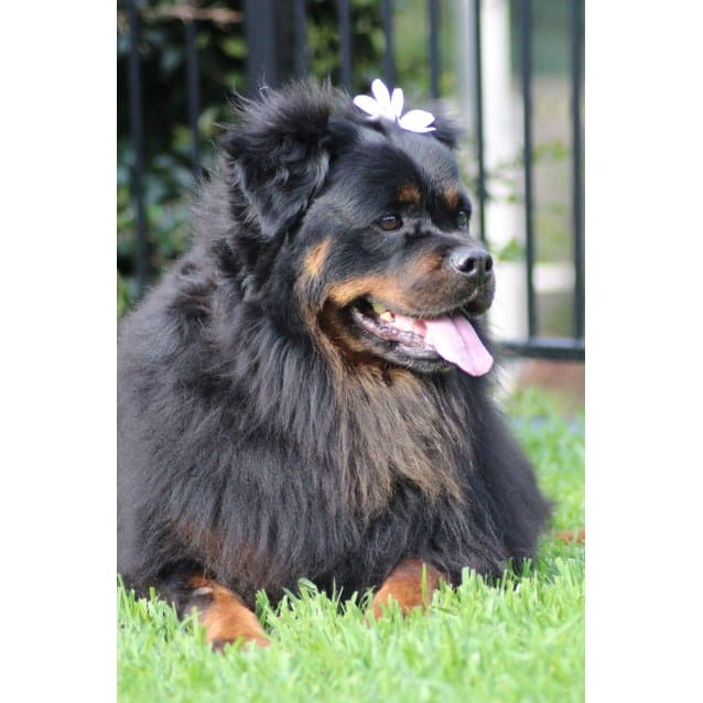 Long Haired Rottweiler