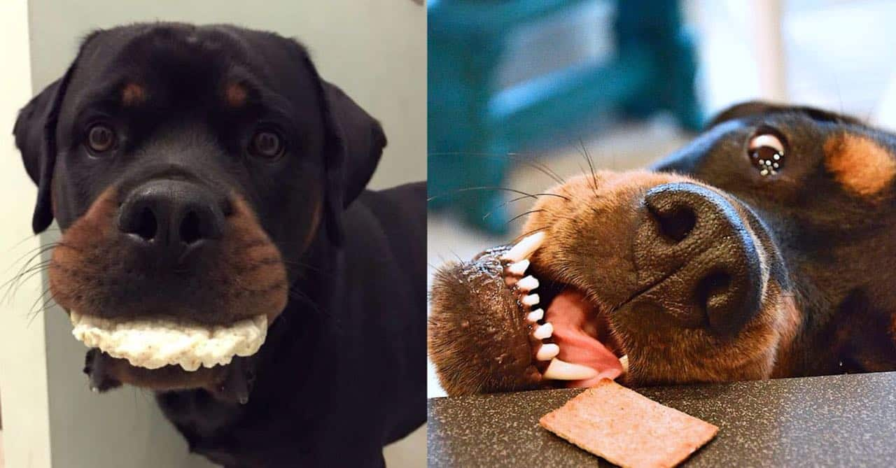Rottweilers dogs