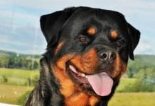 Rottweiler In The Home