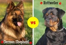 Rottweiler vs Germanshepherd