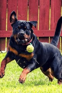 rottweiler german shepherd