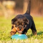 best-food-for-rottweiler-puppies