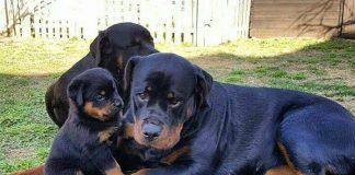 grooming your Rottie