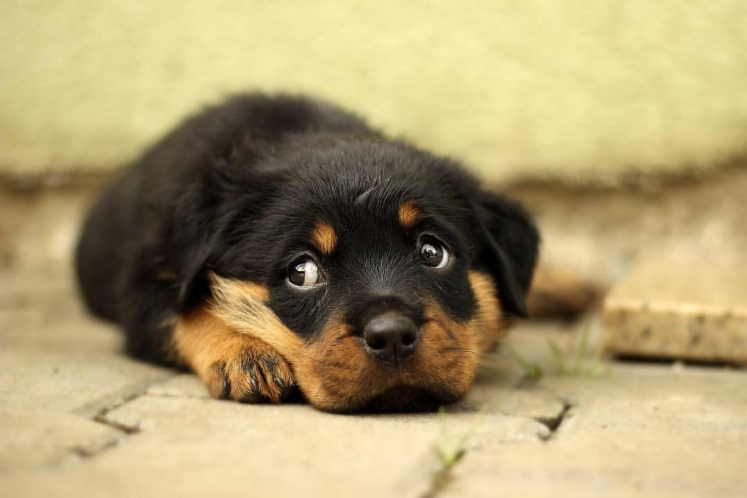facts about Rottweilers