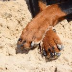 Rottweiler's nails