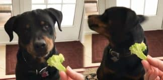 vegetables for your Rottweiler