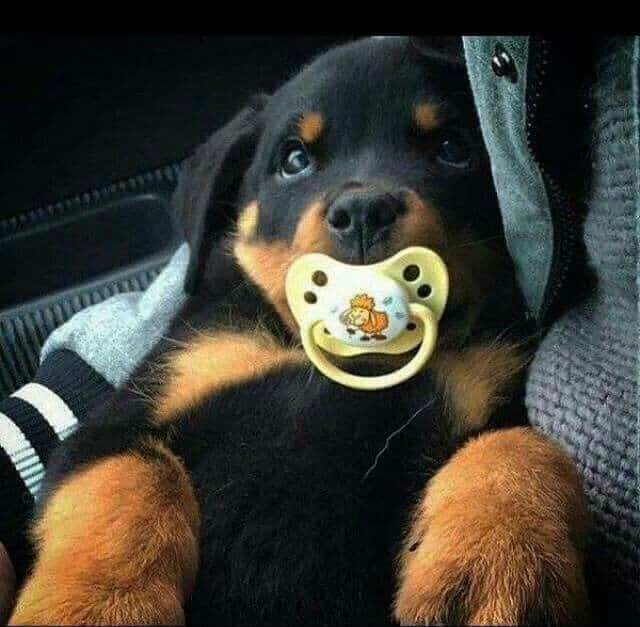 raising your rottweiler