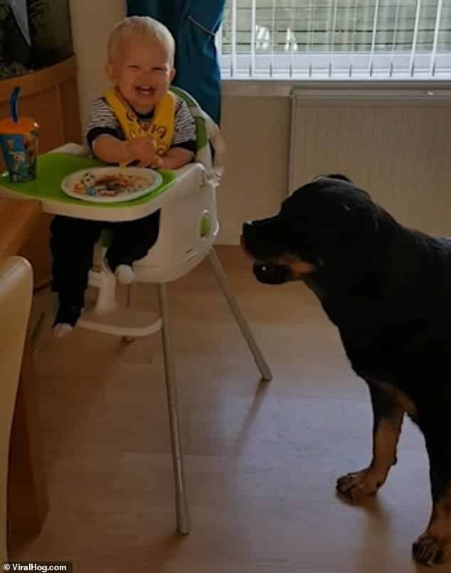 feeding the pet Rottie