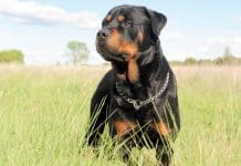 capturing photogenic pictures of your Rottweiler