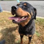 Rottweiler looking for a home