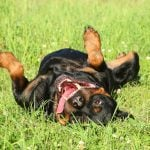 Keeping your Rottweiler positive