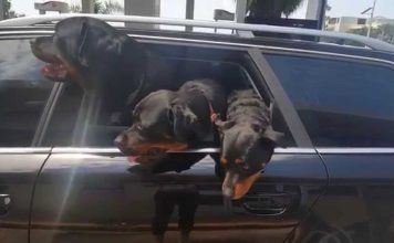 hit the road with your Rottweiler