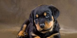 female Rottweiler names