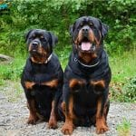 male and female rottweiler