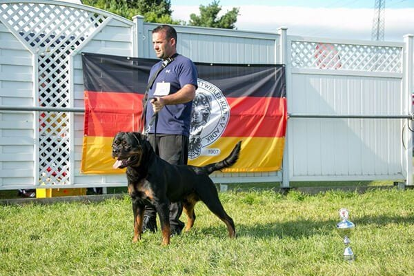 American Rottweiler vs German Rottweiler pictures