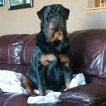 Rottweiler is fond of your furniture