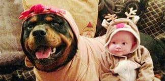 Rottweiler-baby interaction