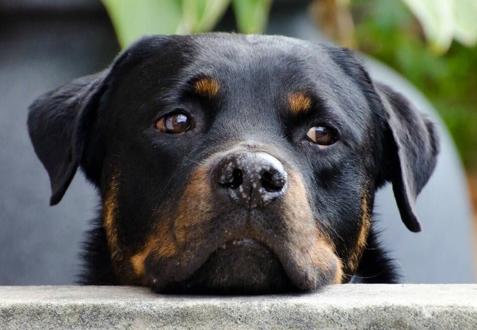 whining Rottweiler