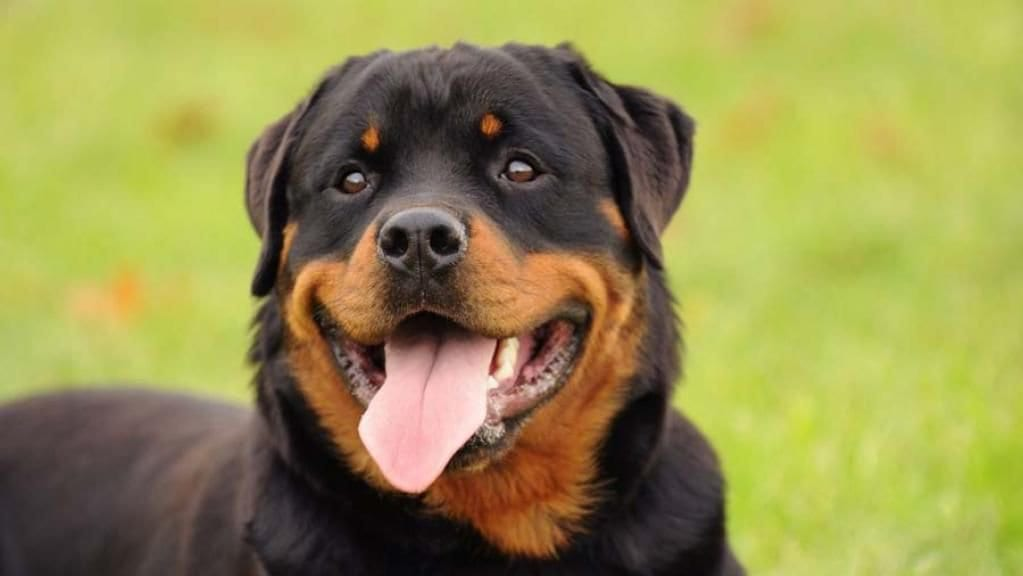 Rottweiler Eye Color Chart