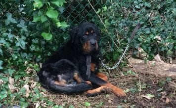 Rottweiler rescued