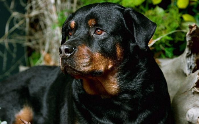life span of your Rottweiler