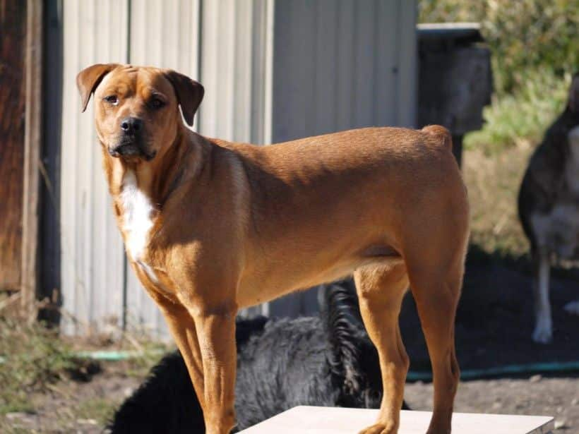 Red Rottweiler color