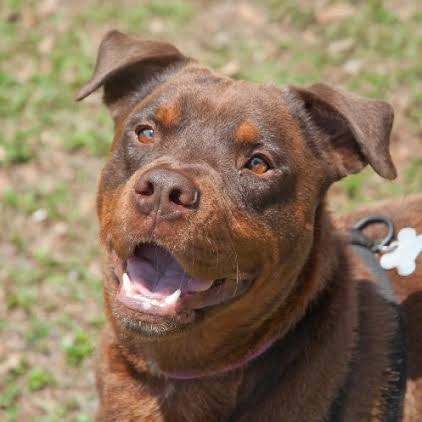 red rottie fun facts about rottweilers