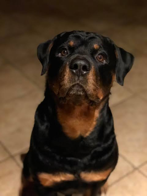 Moody Temperament Of A Rottweiler