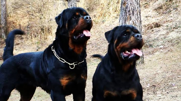 male vs. female rottweiler