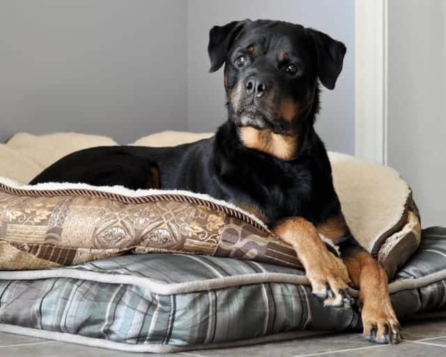 Rottweiler on furniture