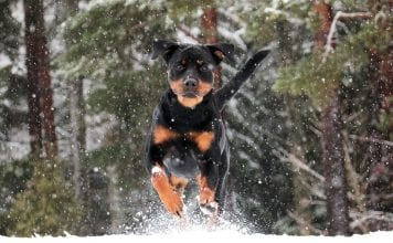 1 year old Rottweiler