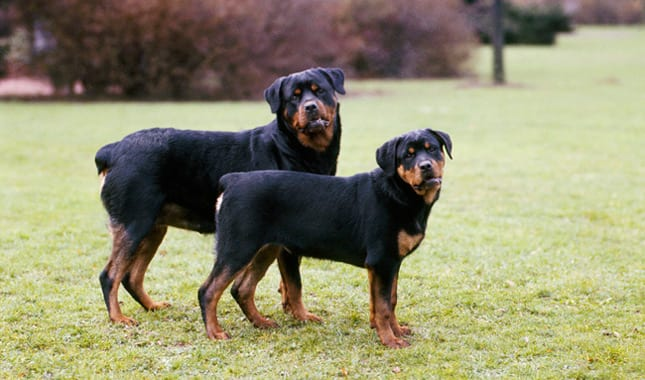 Have You Met A Miniature Rottweiler Yet