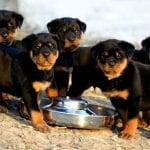 foods for Rottweilers