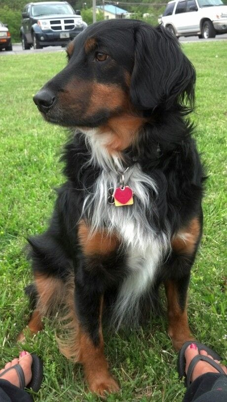 Rottie collie