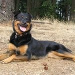 Border Rottie mix